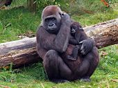 stock photo of lowlands  - A Gorilla mother with her baby sitting in front of a fallen tree.