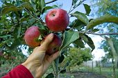 Apples Story