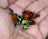 hand full of colorful but poisonous costa rican dart frogs