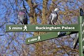 Pigeons On Pedestrian Signposts In London