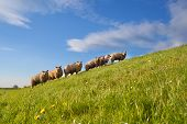 Sheep Herd On Green Summer Pasture
