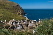 stock photo of albatross  - Breeding colony of albatross with sea view - JPG
