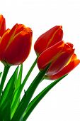 Red with yellow tulips