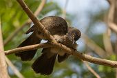 pic of babbler  - A Brown Babbler  - JPG