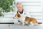 pic of infirmary  - Small dog has examination on table in senior veterinarian infirmary - JPG