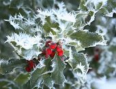 Snow and ice covered holly leaf and berry