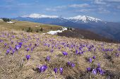 Mountain landscape with the first spring flowers crocus. Spring in the mountains. Carpathians, Ukrai