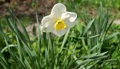 First Spring Flower - Narcissus