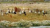 image of falklands  - Upland Geese and Falklands are sitting on the grass - JPG