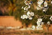 almond tree flowers blosson and moroccan kasbah, perfect for giftcard