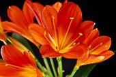 orange color flowers of lily clivia isolated on black background