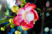 stock photo of cannonball-flower  - Close up Shorea robusta flowerPlants in India - JPG