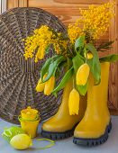 Yellow Mimosa And Tulips In Yellow Rubber Boots