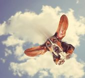 a basset hound flying through the air with his ears like a superhero done with a retro vintage instagram filter