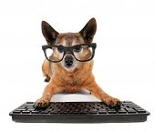image of chihuahua mix  - a cute chihuahua mix wearing glasses with his paws on a computer - JPG