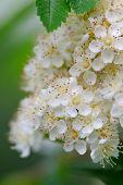 White Rowan Flowers Close-up
