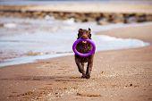 brown labrador retriever dog on the beach