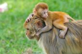 Baby rhesus macaque monkey in Kathmandu