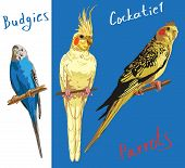 image of cockatiel  - Image of two parrots and cockatiels one budgerigar in color - JPG