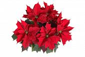 poinsettia plant on white
