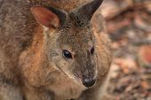 image of wallabies  - Australian native wallaby in the bush in NSW - JPG