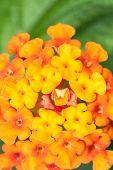 picture of lantana  - Closeup of blossom yellow orange and red lantana camara flower - JPG