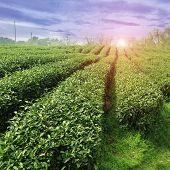 Beautiful Pattern Of Bright, Green Tea Garden  In China