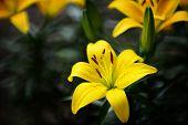 Lilium Longiflorum With Dewdrops