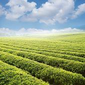 Beautiful Pattern Of Bright, Green Tea Garden On The Hill