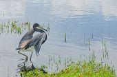 Heron Hunting In Swamp