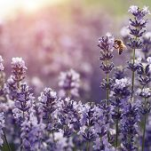 stock photo of lavender plant  - lavender and bee - JPG