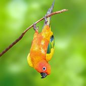 image of sun perch  - Six of Sun Conure Parrot perching on a branch green background