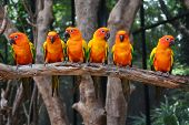 stock photo of sun perch  - Six of Sun Conure Parrot bird perching on a branch - JPG