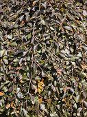 Purple Beech Leaf Background