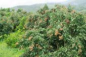 Fresh Longan On Tree