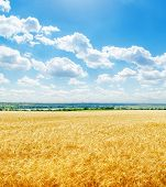 golden color field with wheat and low clouds in blue sky