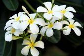 White Plumeria (frangipani) Flowers
