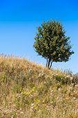 Summer Meadow Tree