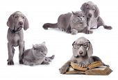 Weimaraner puppy and kitten,  book and dog