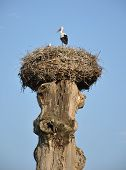 Crane nest on an old tree