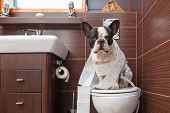 pic of poo  - French bulldog sitting on toilet at home - JPG