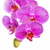Blooming Twig Of Stripped Lilac With White Orchid, Phalaenopsis Is Isolated On White Background