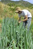 Agriculture: Organic farmer harvesting escallion