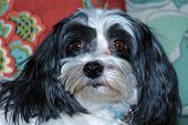 A Beautiful half Shih Tzu - Maltese dog poses for her portrait on a nice new couch in the comfort of her home. Small dogs are loved by people around the world and like to sit on your lap or be held.