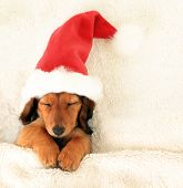 Sleeping Christmas puppy wearing a Santa hat.