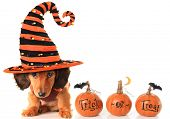 stock photo of halloween  - Halloween dachshund puppy wearing a Halloween witch hat plus pumpkins - JPG