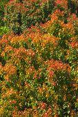 Leaves of azalea trees