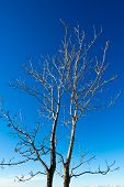 picture of fraternal twins  - couple of leafless trees in the italian alps - JPG
