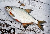 Fish Bream On Old Wooden Table