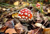 Mushroom Fly Agaric In Forest